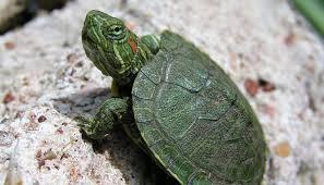 Cómo cuidar una tortuga de agua.